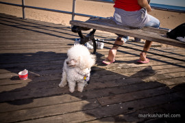 White Poodle, street photography by Markus Hartel, New York